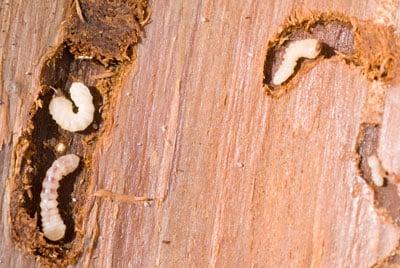 houtworm bestrijden groningen